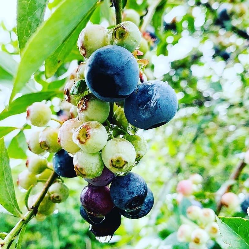 伊佐市ブルーベリー摘み取り園の栽培期間中無農薬栽培のブルーベリーを使用したブルーベリージャム、ブルーベリー酢